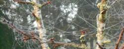Des filaments ayant fini leur course dans un arbre